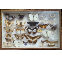 Boite de papillons naturalisés