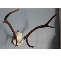 Trophée de chasse Masacre de cerf