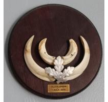 Trophée de chasse Défenses de sanglier