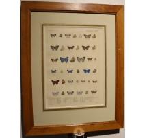 Gravure Papillons par W. PURKISS