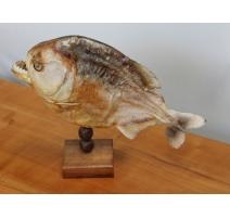 Piranha naturalisé monté sur un socle en bois