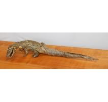 Aligator naturalisé tête courbe