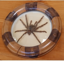 Mygale naturalisée sous verre dans un cadre rond