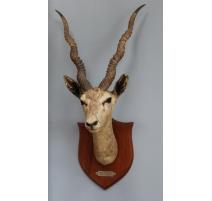 Trophée de chasse Tête d'antilope