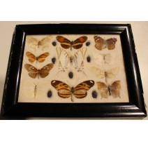 Cadre de papillons et scarabées naturalisés