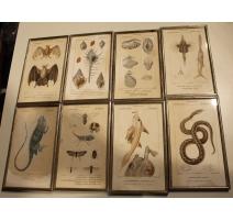 Lot de 8 gravures Zoologie par PRETRE