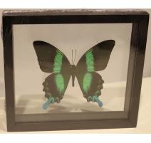 """Papillon """"Papilio blumei"""" encadré"""