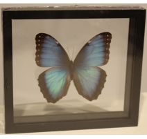 """Papillon """"Morpho achilles"""" encadré"""