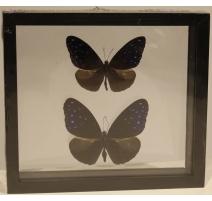 """2 Papillons """"Euploea mulciber"""" encadrés"""