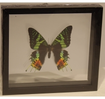 "Papillon ""Chrysiridia madagascariensis"" encadré"