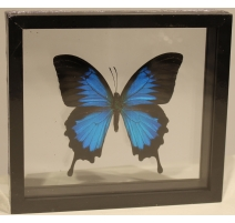 """Papillon """"Papilio ulysses"""" encadré"""