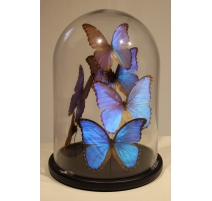 "Globe de papillons ""Morpho menelaus"""