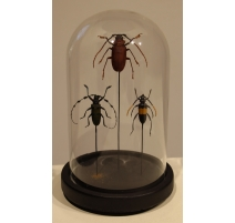 Globe rond aux coléoptères