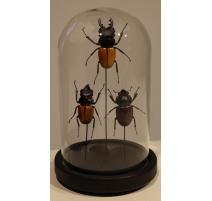 Globe rond aux scarabées