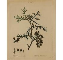 "Gravure ""THUYA occidentalis"" par REDOUTÉ"