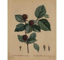 """Gravure """"CALYCANTHUS floridus"""" par REDOUTÉ"""