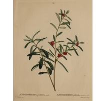 "Gravure ""ANDROMEDA polifolia"" par REDOUTÉ"