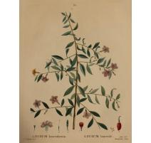 """Gravure """"LYCIUM lanceolatum"""" par REDOUTÉ"""
