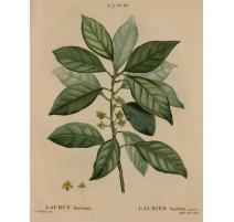 """Gravure """"LAURUS borbonia"""" par REDOUTÉ"""